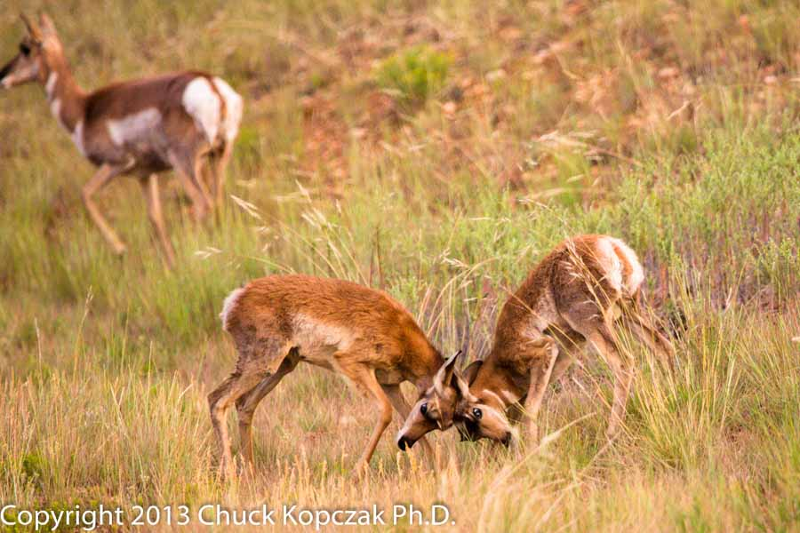 Two young male pronghorn joust to learn and perfect techniques that will use as adults to defend a group of females against other males looking to breed with them.
