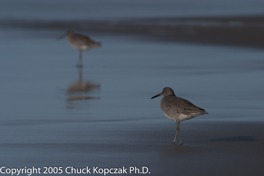 Willets wait for the next incoming wave at Guadalupe Dunes, California.