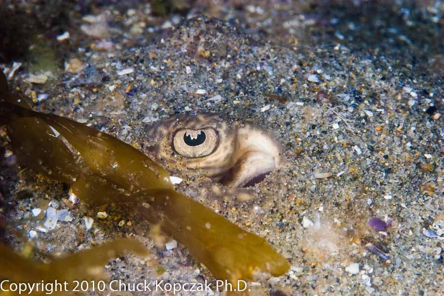 A round ray lies buried beneath the sand avoiding predators.
