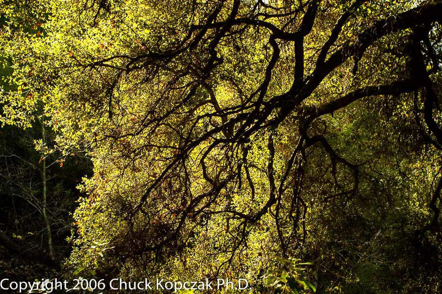 A live oak (Quercus agrifolia) shimmers in the noonday sun on a winter's day in the Santa Monica Mountains.
