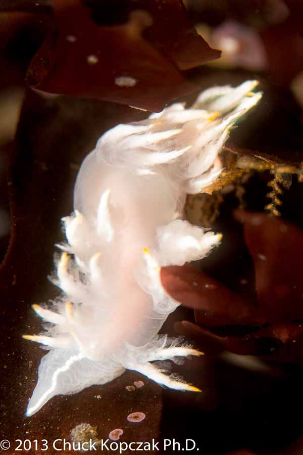 White Dendronotus nudibranch