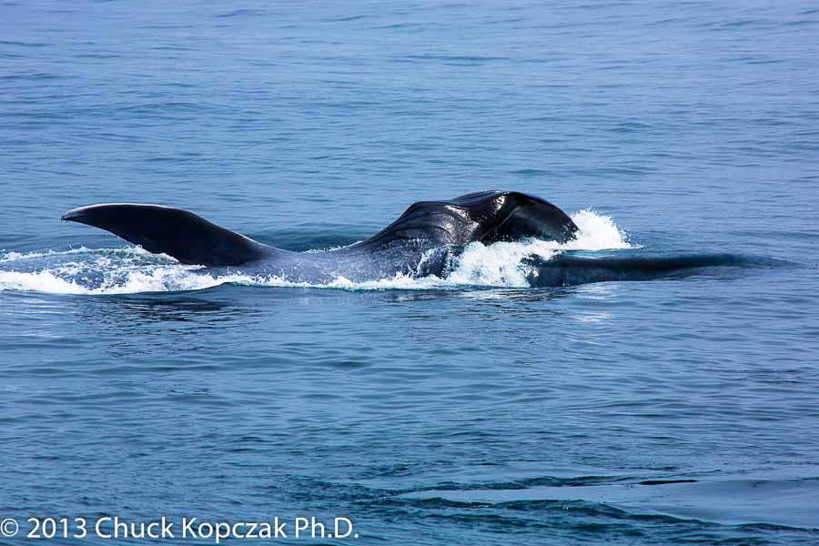 Blue whale lunge-feeding