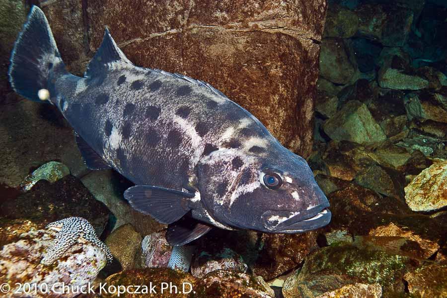 Giant Sea Bass (juvenile)
