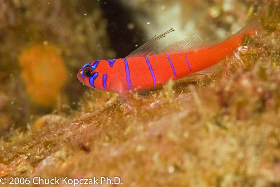 Blue-banded Goby