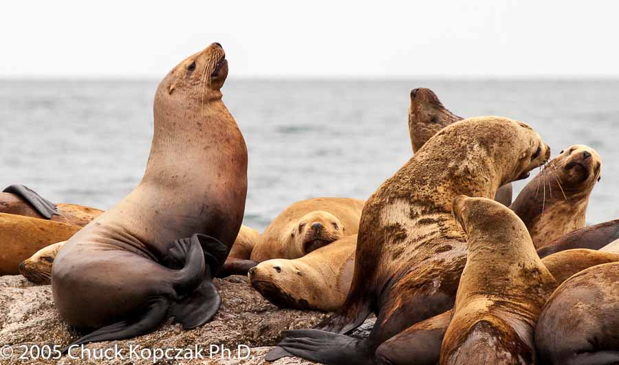 A young male  Stellar Sea Lion  ( Eumetopias jubatus ) tries to impress a group of females.