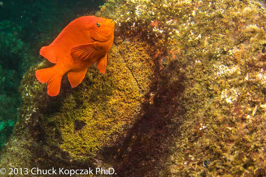 Male Garibaldi Protecting Nest