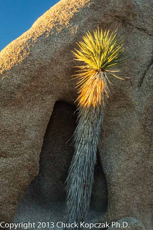 Joshua tree ( Yucca brevifolia )