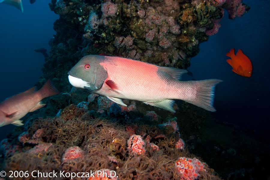 A male sheephead (Semicossyphus pulcher) glides by the leg of an oil drilling platform off the California coast.