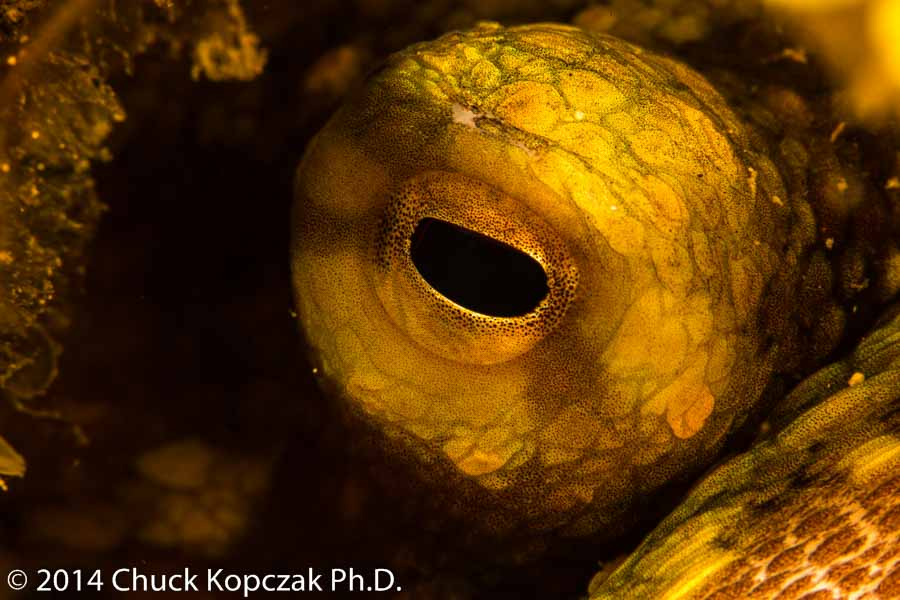 A two-spot octopus peers out of its hole on the reef.