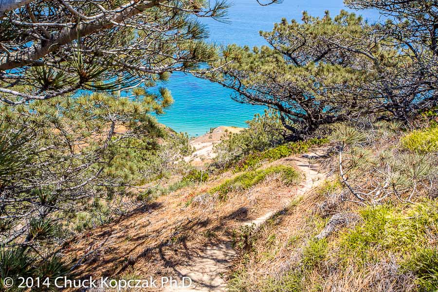Looking down to the ocean through a grove of Torrey pines on Santa Rosa Island.