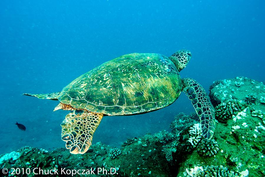 A green sea turtle (Chelonia mydas) swims lazily over reef off the coast of Kauai in the Hawaiian Islands.