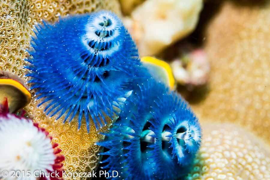 A Christmas tree worm ( Spirobranchus  sp.) extends elaborately shaped structures used for feeding and respiration.