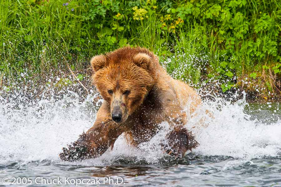 A Kodiak brown bear plunges into Dog Salmon Creek after a red salmon.
