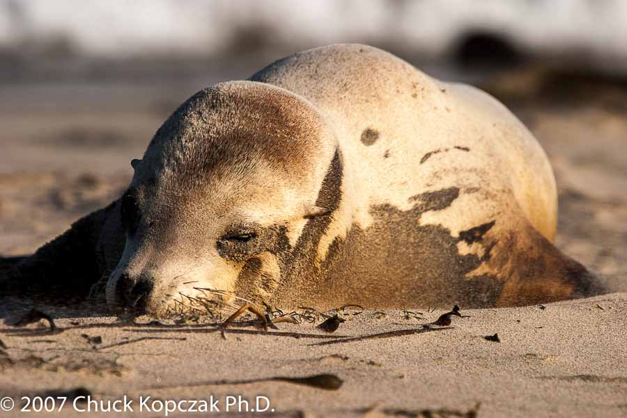 A young California sea lion  ( Zalophus californianus ) lies on the beach at Leo Carrillo State Beach.