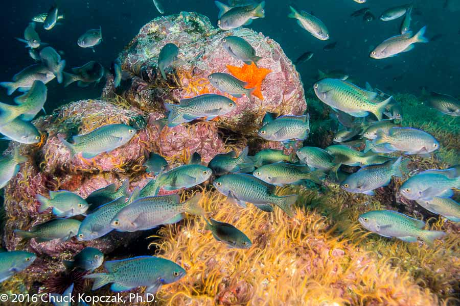 Blacksmith fish (Chromis punctipinnis) aggregate around a reef outcrop.