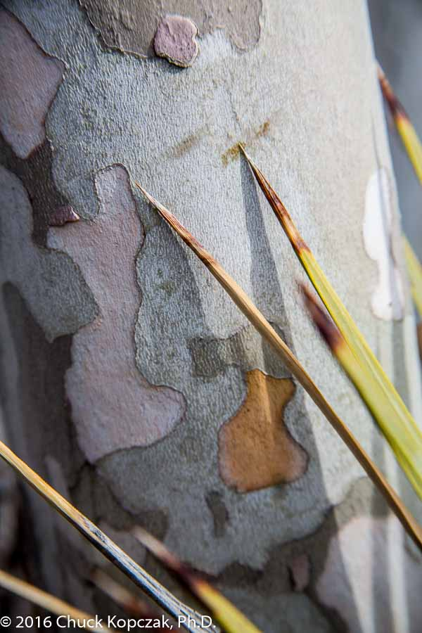 Multicolored bark of a California sycamore (Platanus racemosa) in the bottom of Devil's Punchbowl.