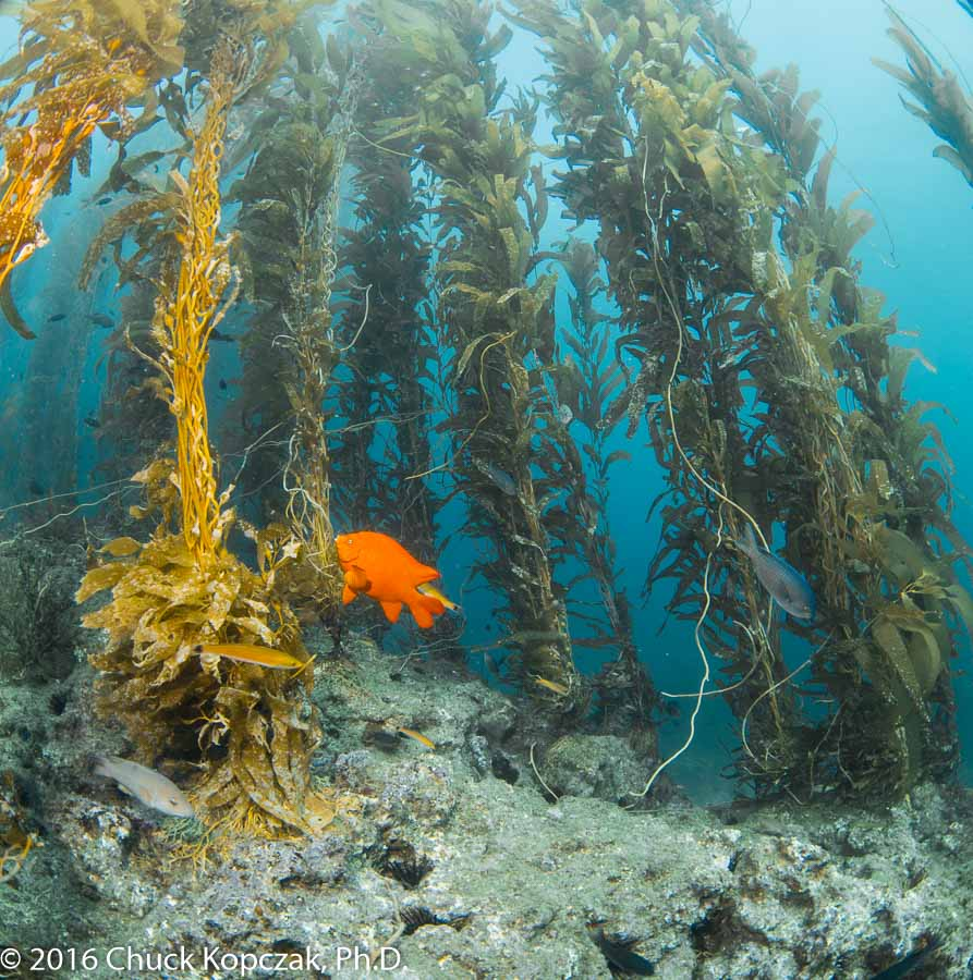 A garibaldi ( Hypsypops rubicundis ) swims in a giant kelp forest on Anacapa Island, off the California coast.