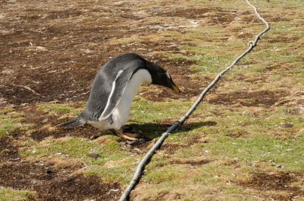 "Untrained Gentoo about to ""cross the line""!"