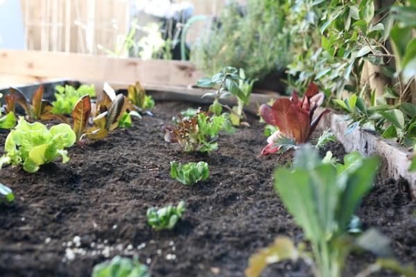 gardening lettuce.jpg