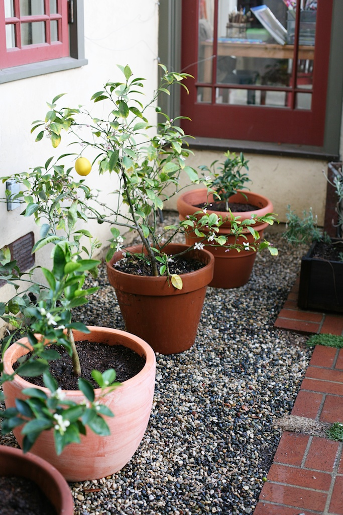 Potted Citrus Trees.jpg