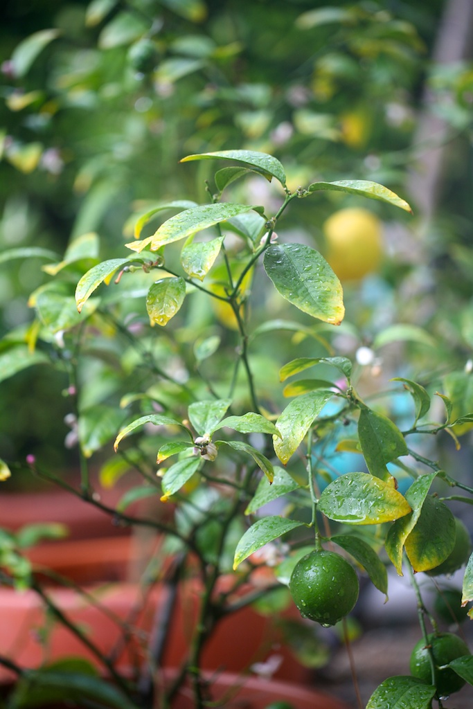 Potted Citrus Tree How To