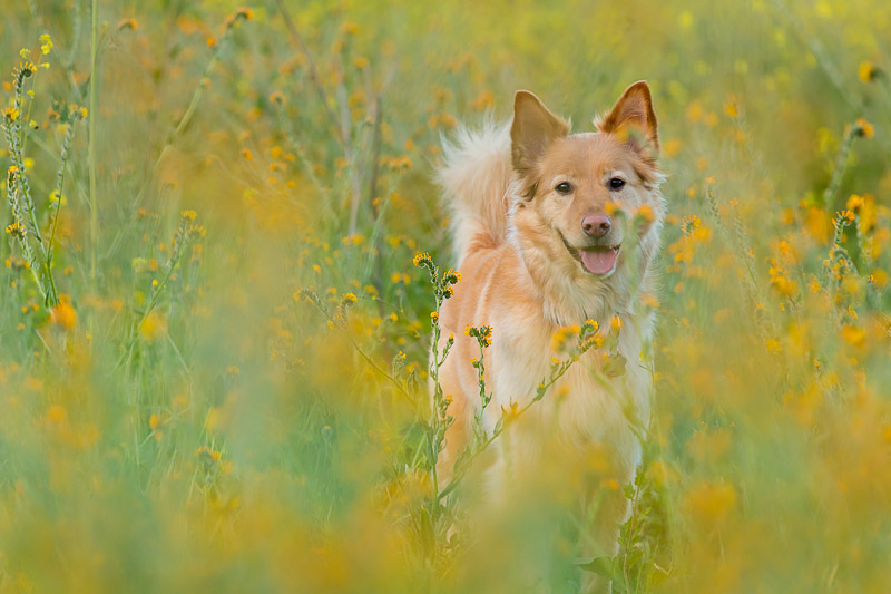 engagement-session-with-dog-in-wildflowers.jpg