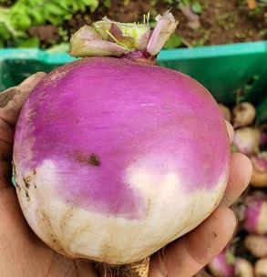 107 turnip.JPG