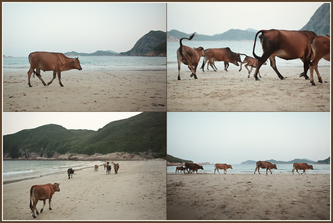 cows on a beach, Hong Kong