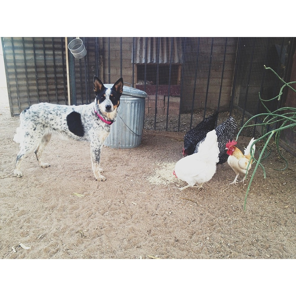 Annie and the hens