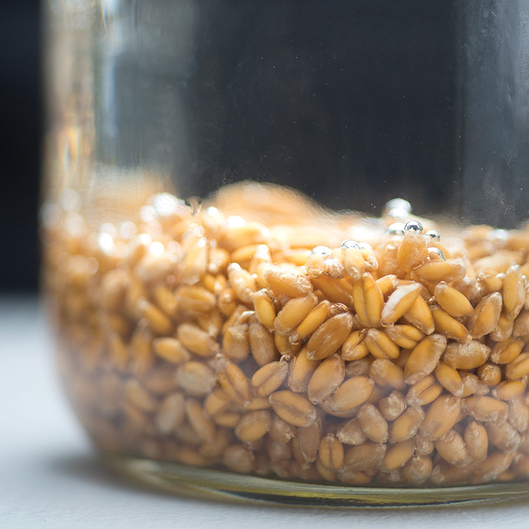 Wheat berries soaking overnight. See below for instructions.