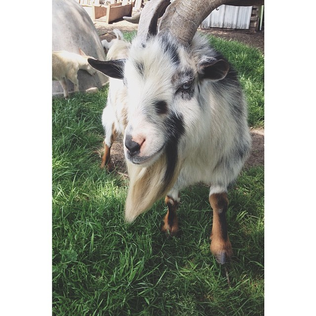 This little billy goat made it all the way to Jazz Fest. Photo by  @triciamarierollo