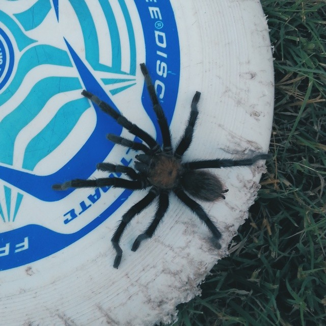 No tacos to end the post this week. Let's go with tarantulas instead. The dangers of living on Sherman Drive as captured by  @joshpiers . This is probably in your backyard right now, Denton. go check! Enjoy having fun outside this summer after looking at this 'gram! Also, that's a five foot wide frisbee if you need scale.