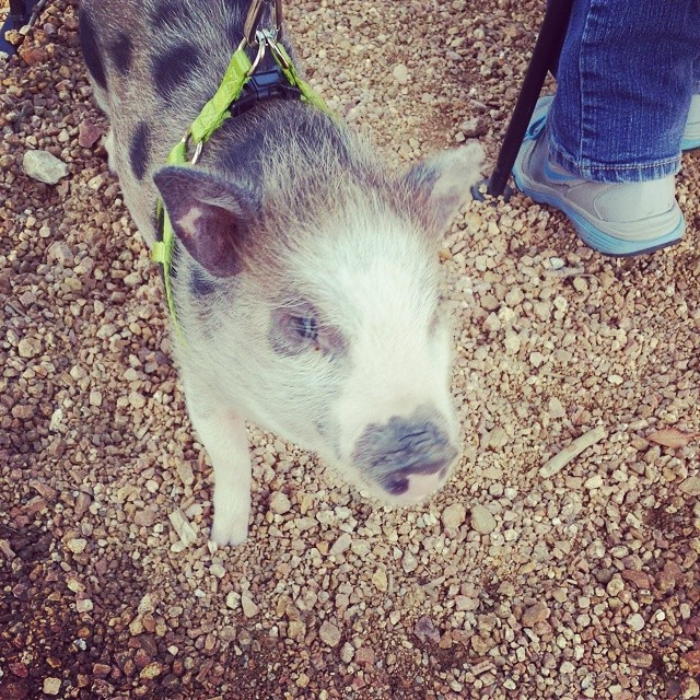 @whereismyrobot spotted a pig roaming around the patio of East Side this weekend. We guess its not just for the pups anymore.