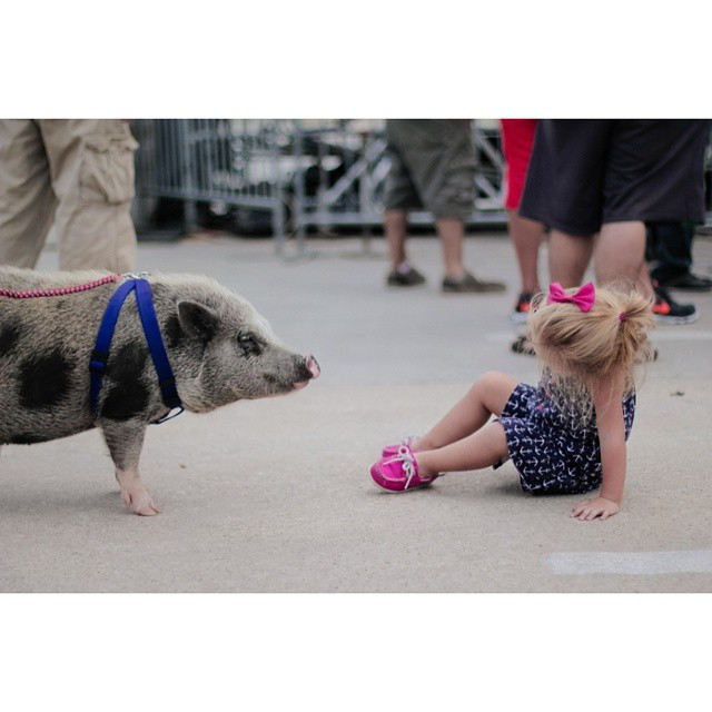 Pig on a leash.