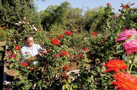Jim Herbison tending to his rose garden. Photo by Al Key of the Denton Record Chronicle. You can read more about Herbison here.