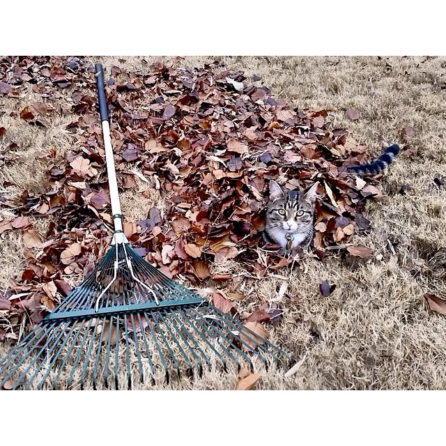 Yeah, so make sure y'all are following @catsofdenton so you don't miss gold like this leaf covered furball.