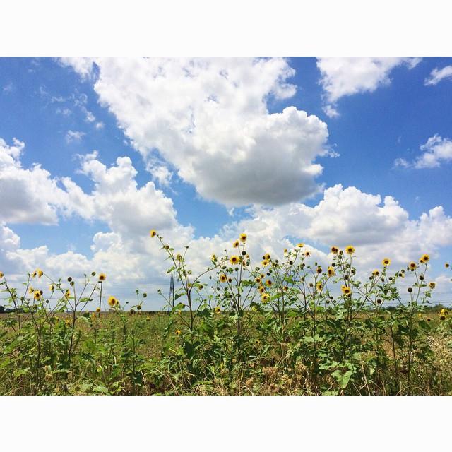 Sunflowers reaching pretty high.