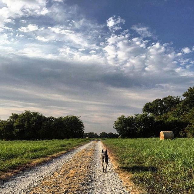 @too.soon.junior and his blue heeler working their way down the road.