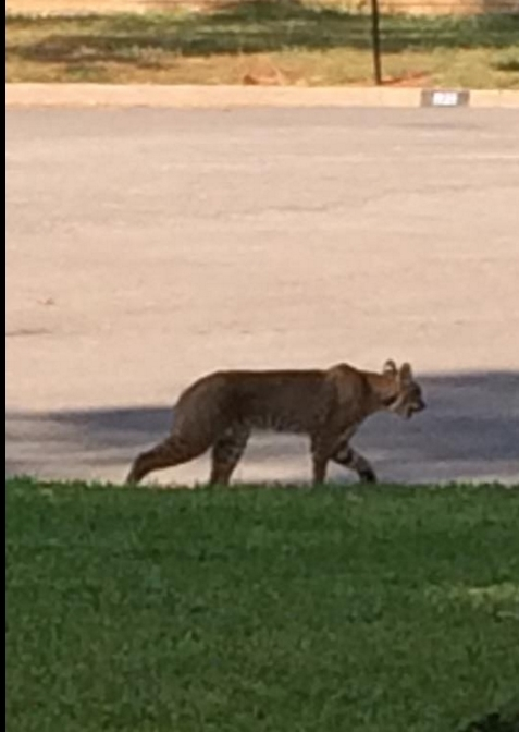 The Burning Tree Bobcat making an appearance in North Denton.