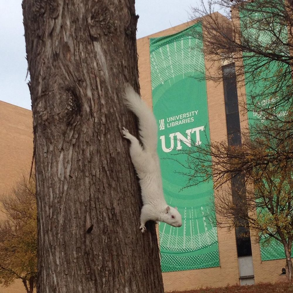 @roman_a_w found out that UNT's albino squirrel always comes out to attend graduations.