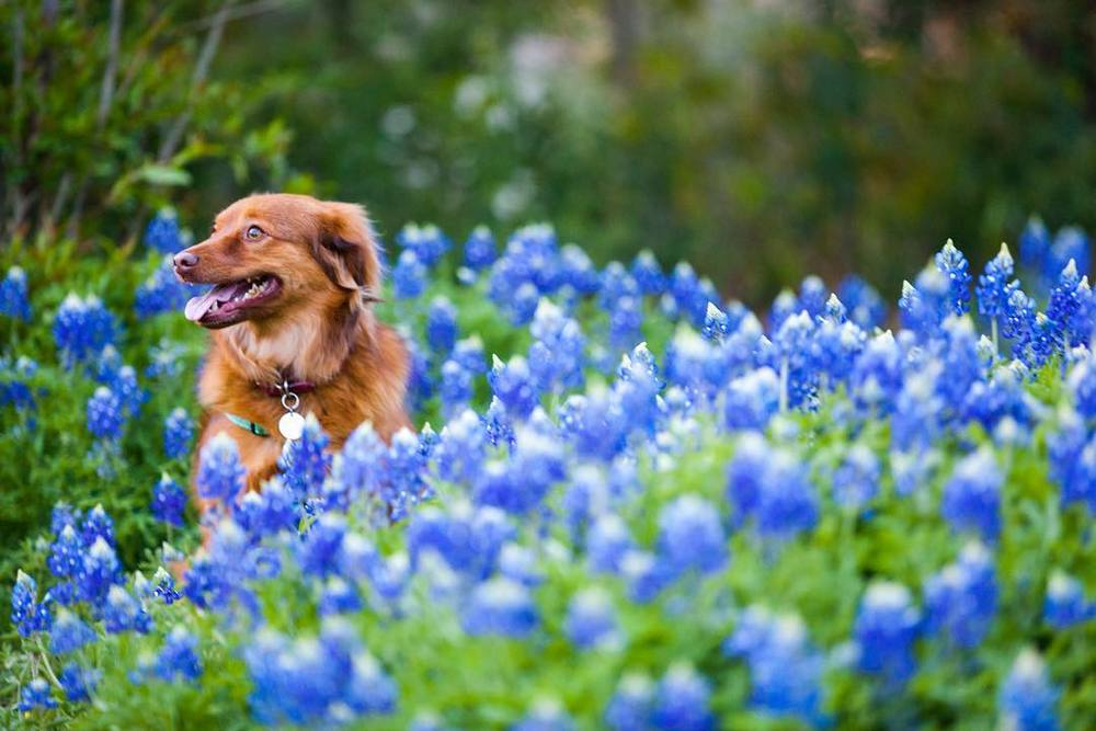 @bradholt trying to make a dog pose in a field of bluebonnets.