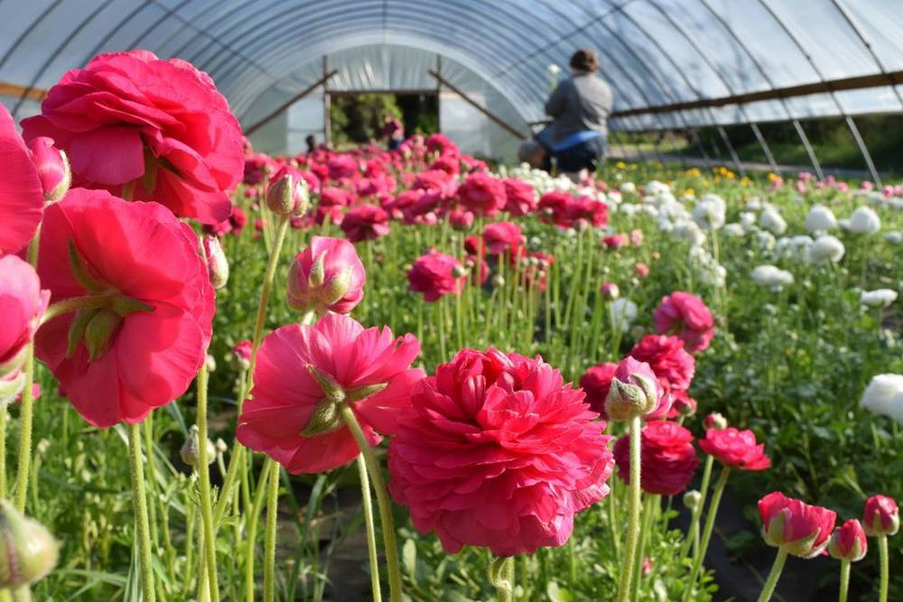 @littleweddingextras got this great shot of the ranunculus flowers at Cardo's Farm Project last Thursday.