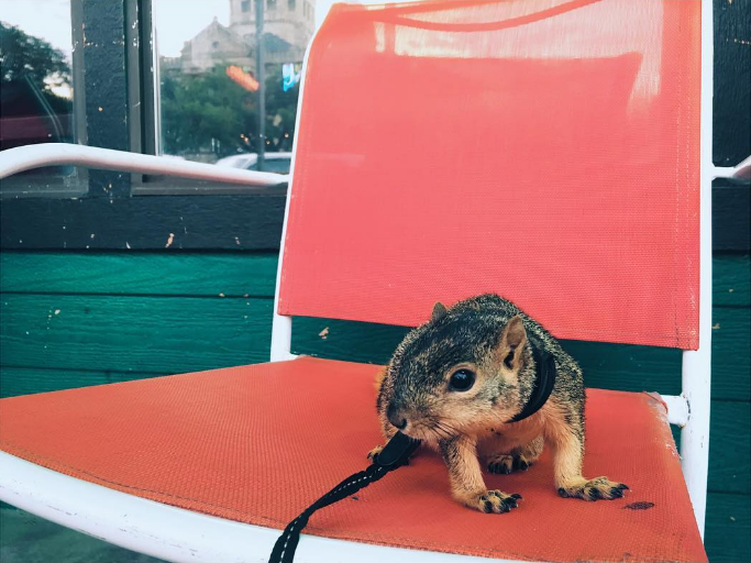 Squirrel on a leash on a red chair. Photo by @tbear_.