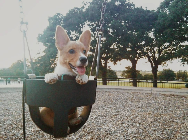 @germantorrestx with a cute corgi in a swing.