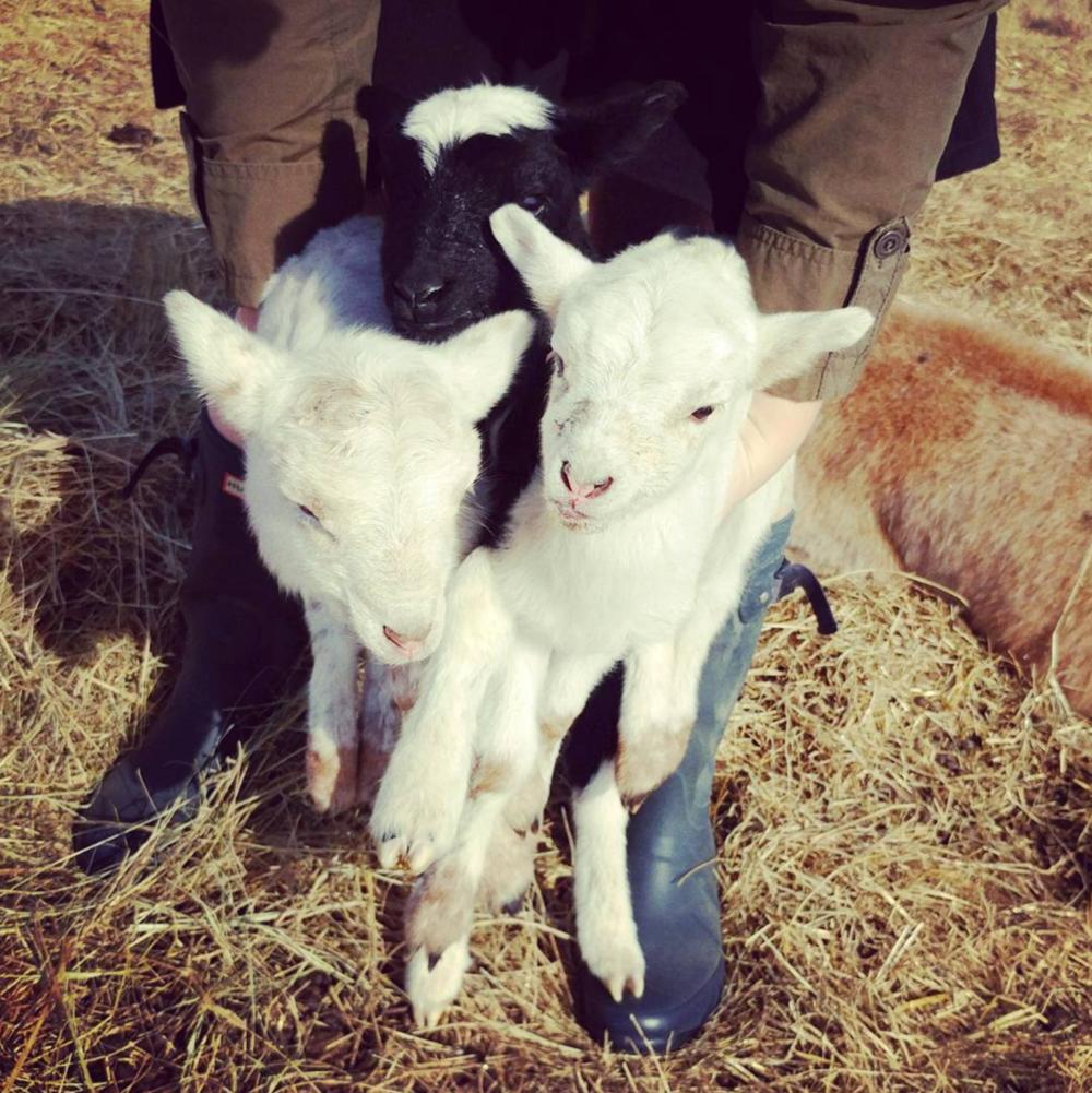 @hkgregory had some cute, hairy triplets last week.