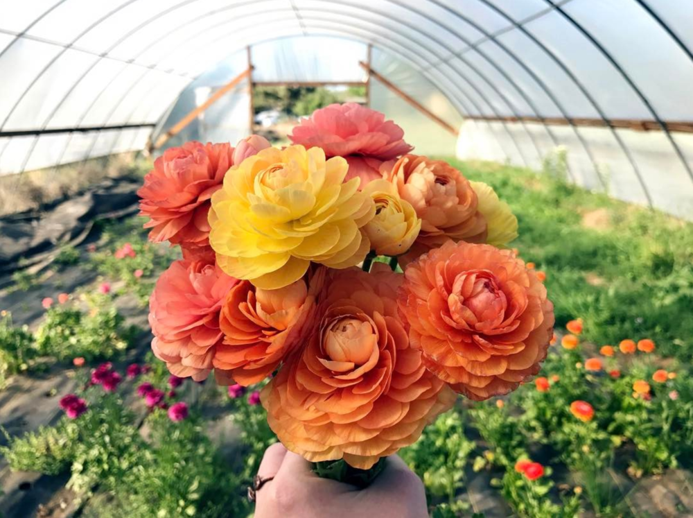 @jessi_whitby and some ranunculus flowers at a recent Thursday night U-Pick at Cardo's Farm.