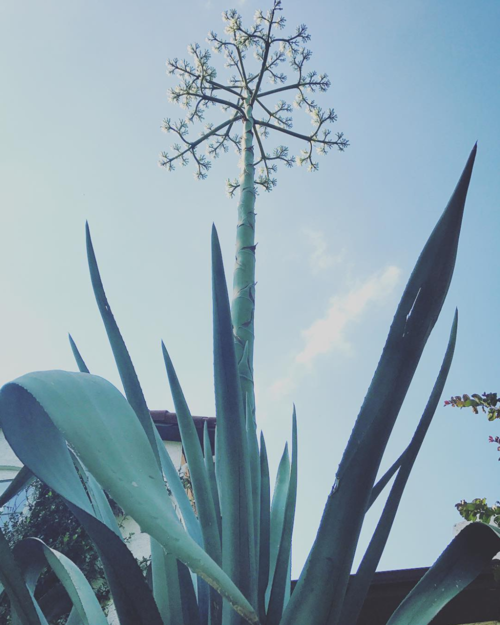 @lifeofahasserd and a blooming century plant (AKA agave americana).