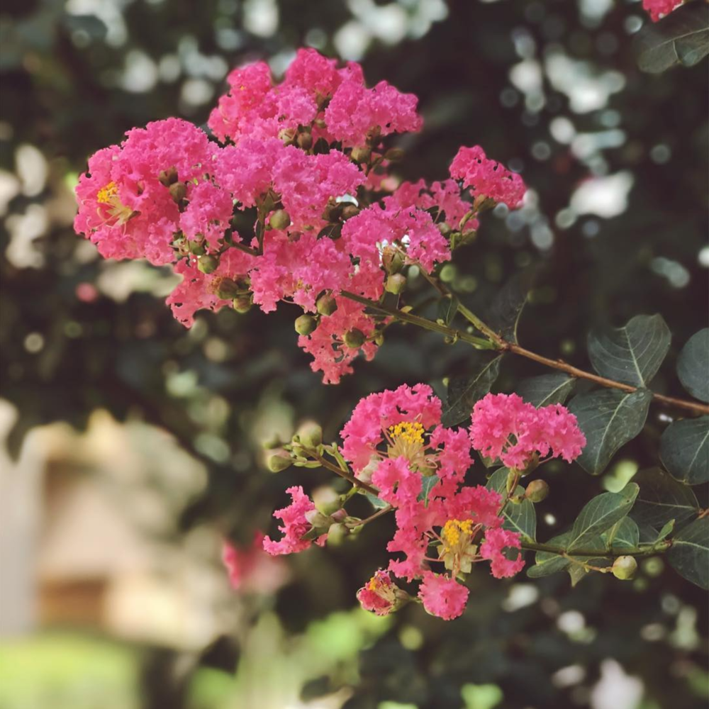 June brings the Texas heat, but also the crepe myrtle blooms. Beautiful photo shot by @daniellegaither.