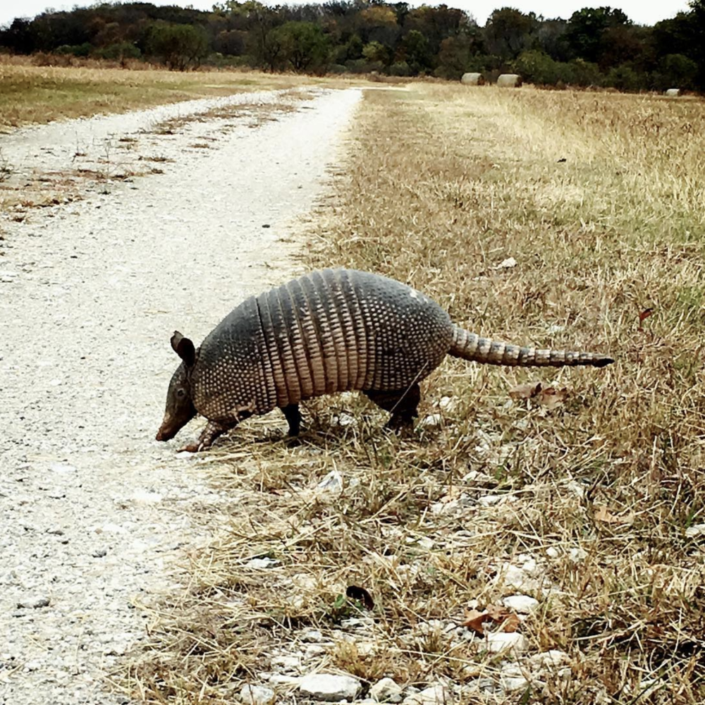 Close up armadillos with @candus813.