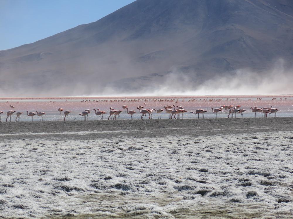 Pink-flamingos-Bolivia.jpg